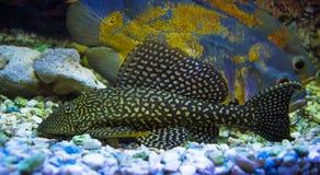 Sailfin Pleco Plecostumusvissen Loricariidae royalty-vrije stock foto's