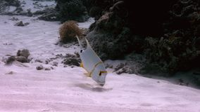 Sailfin-Rotbarsch auf einem flachen sandigen Bereich stock video footage