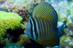 Sailfin ryba Obrazy Stock
