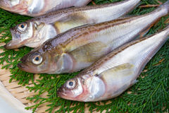 Sailfin sandfish Royalty Free Stock Image