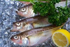Sailfin sandfish Stock Photos