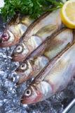 Sailfin sandfish Royalty Free Stock Photo