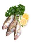 Sailfin sandfish Stock Image