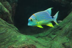 Sailfin snapper Stock Photos