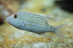 Sailfin snapper (Symphorichthys spilurus). Stock Photography