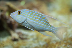 Sailfin snapper Symphorichthys spilurus. Royalty Free Stock Photography