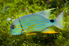 Sailfin snapper Symphorichthys spilurus Royalty Free Stock Image