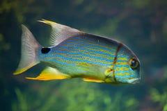 Sailfin snapper Symphorichthys spilurus Stock Photography