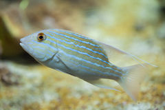 Sailfin snapper Symphorichthys spilurus. Royalty Free Stock Image