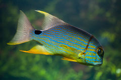Sailfin snapper Symphorichthys spilurus Stock Photo
