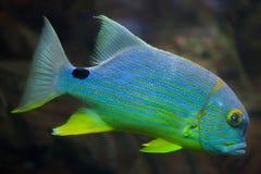 Sailfin snapper Symphorichthys spilurus Royalty Free Stock Photography