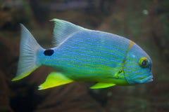 Sailfin snapper Symphorichthys spilurus Royalty Free Stock Images