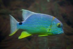 Sailfin snapper Symphorichthys spilurus Royalty Free Stock Photo