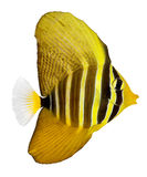 Sailfin Tang Royalty Free Stock Photos