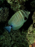 Sailfin tang. (zebrasoma desjardinii). Taken at Sharm el Sheikh royalty free stock photography