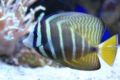 Sailfin tang. The sailfin tang (Zebrasoma veliferum stock photos