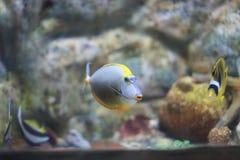 Sailfin Tang Stockfotografie