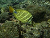 Sailfin Tang Stock Photo