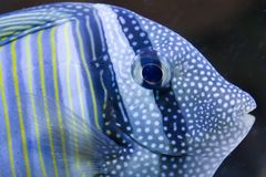 Sailfin Tang. A closeup of a sailfin tang Stock Image