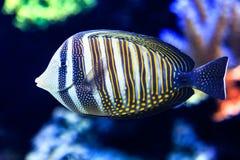 Sailfin Tang. Close up of Sailfin Tang, a tropical reef fish royalty free stock images