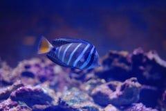 Sailfin tang Royalty Free Stock Photo
