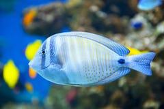 Sailfin Tang fish. Close up of tropical Sailfin Tang fish stock photos
