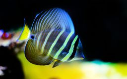 Sailfin Tang fish - Zebrasoma velifer. The sailfin tang is a marine reef tang in the fish family Acanthuridae. They may live at water depths of 1 - 60 m or more stock photos