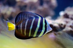 Sailfin Tang fish - Zebrasoma velifer. The sailfin tang is a marine reef tang in the fish family Acanthuridae. They may live at water depths of 1 - 60 m or more stock photo