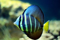 Sailfin Tang fish - Zebrasoma velifer. The sailfin tang is a marine reef tang in the fish family Acanthuridae. They may live at water depths of 1 - 60 m or more stock photography