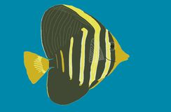 Sailfin Tang (juvenile) (mane'one'o) Stock Photo