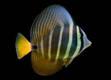 Sailfin Tang fish - Zebrasoma velifer. The sailfin tang is a marine reef tang in the fish family Acanthuridae. They may live at water depths of 1 - 60 m or more royalty free stock images