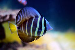 Sailfin Tang fish - Zebrasoma velifer. The sailfin tang is a marine reef tang in the fish family Acanthuridae. They may live at water depths of 1 - 60 m or more royalty free stock image