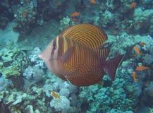 Sailfin tang swimming Stock Photo