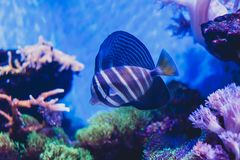 Sailfin tang Zebrasoma. Red Sea sailfin tang or Desjardin`s sailfin tang Zebrasoma desjardinii. Marine reef tang in the fish family Acanthuridae stock images