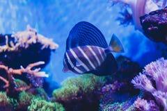 sailfin tang Zebrasoma stock images