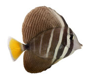 Sailfin Tang, Zebrasoma veliferum Royalty Free Stock Image