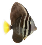 Sailfin Tang, Zebrasoma veliferum. In front of white background stock photo