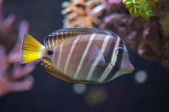 Sailfin tang Zebrasoma veliferum. Stock Photo