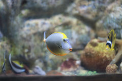 Sailfin tang. The sailfin tang Zebrasoma veliferum is a marine reef tang in the fish family Acanthuridae. They may live at water depths of 1 - 60 m 3 - 200 ft or Stock Photography