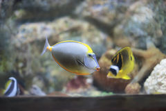 Sailfin tang. The sailfin tang Zebrasoma veliferum is a marine reef tang in the fish family Acanthuridae. They may live at water depths of 1 - 60 m 3 - 200 ft or Stock Photos
