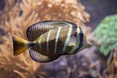 Sailfin tang Zebrasoma veliferum. Stock Image
