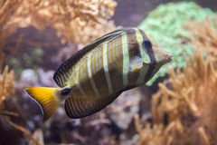 Sailfin tang Zebrasoma veliferum. Stock Photo