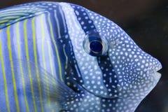 Sailfin Zapfen Stockbild