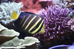 Sailfin Zapfen (Zebrasoma veliferum) Stockfotografie