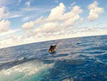 sailfish Στοκ εικόνες με δικαίωμα ελεύθερης χρήσης