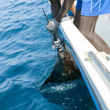 Sailfish catch billfish sportfishing holding bill Stock Image