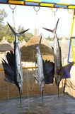 Sailfish catch hanging marlin fishing trophy Stock Images
