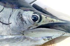 Sailfish face macro closeup detail. Eye and mouth Stock Photography