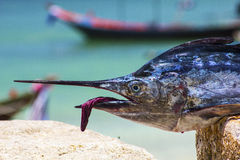 Sailfish face macro closeup Stock Images