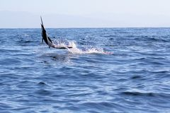 Swordfish Sailfish jumping out of the water Stock Photo